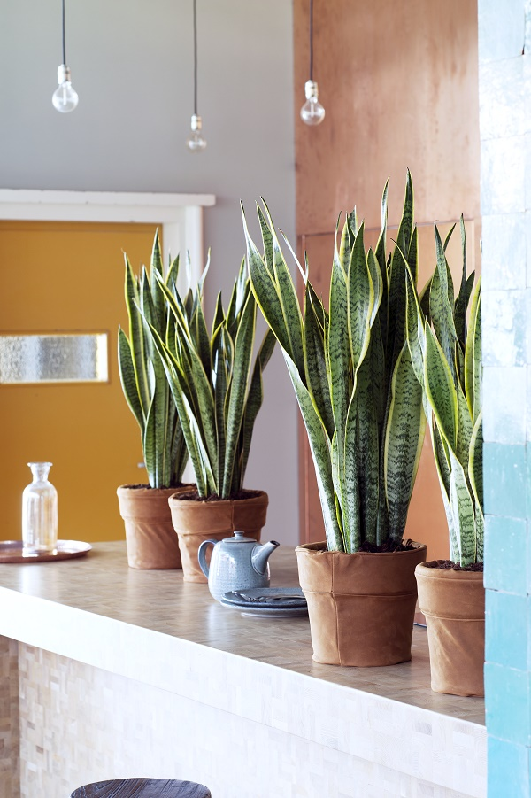 Snake plant - Thejoyofplants.co.uk