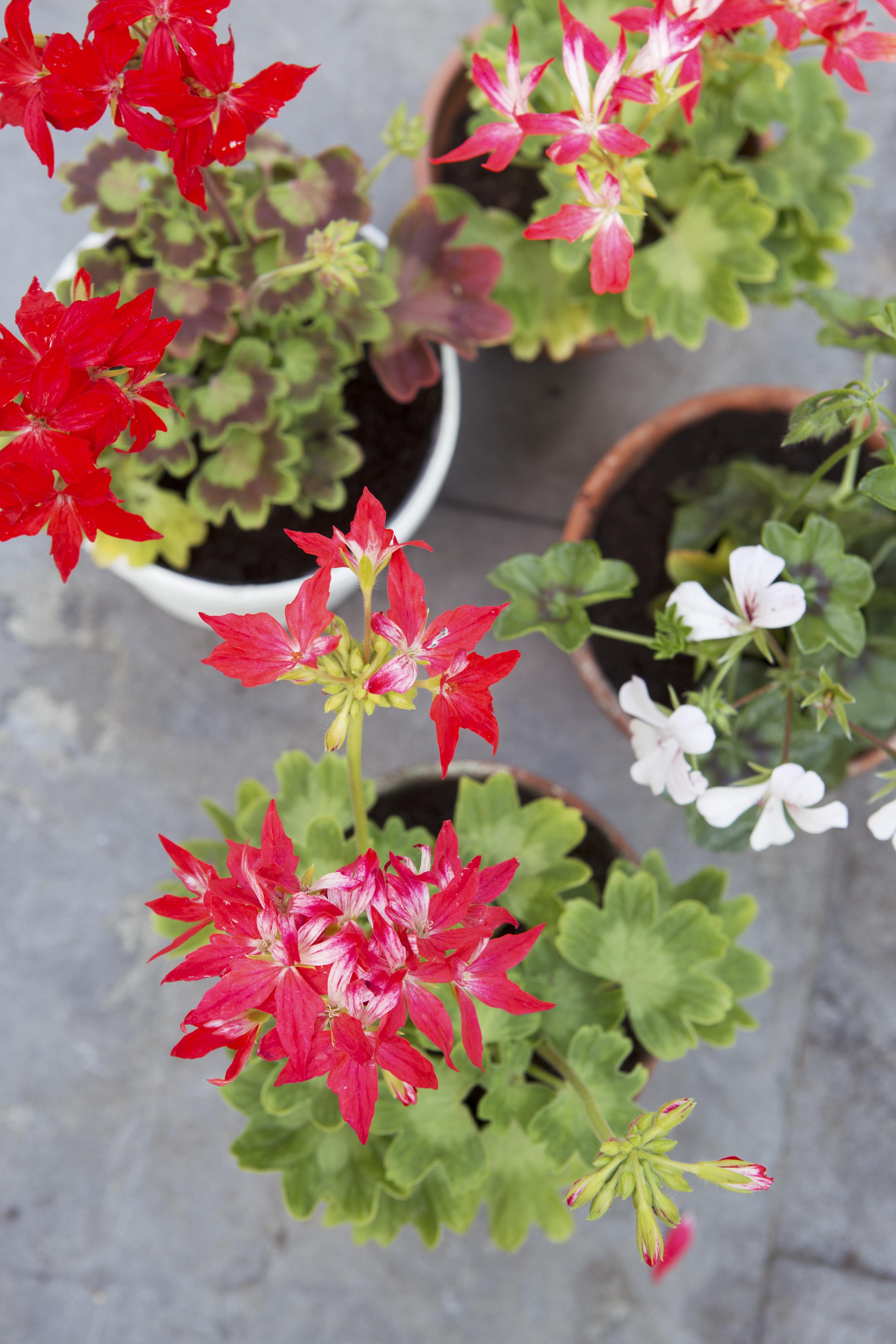 how to take geranium cuttings uk