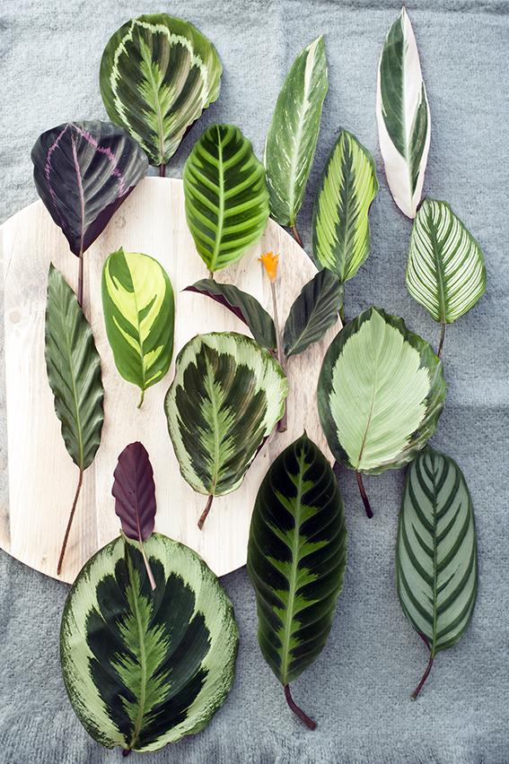 Calathea The Joy Of Plants