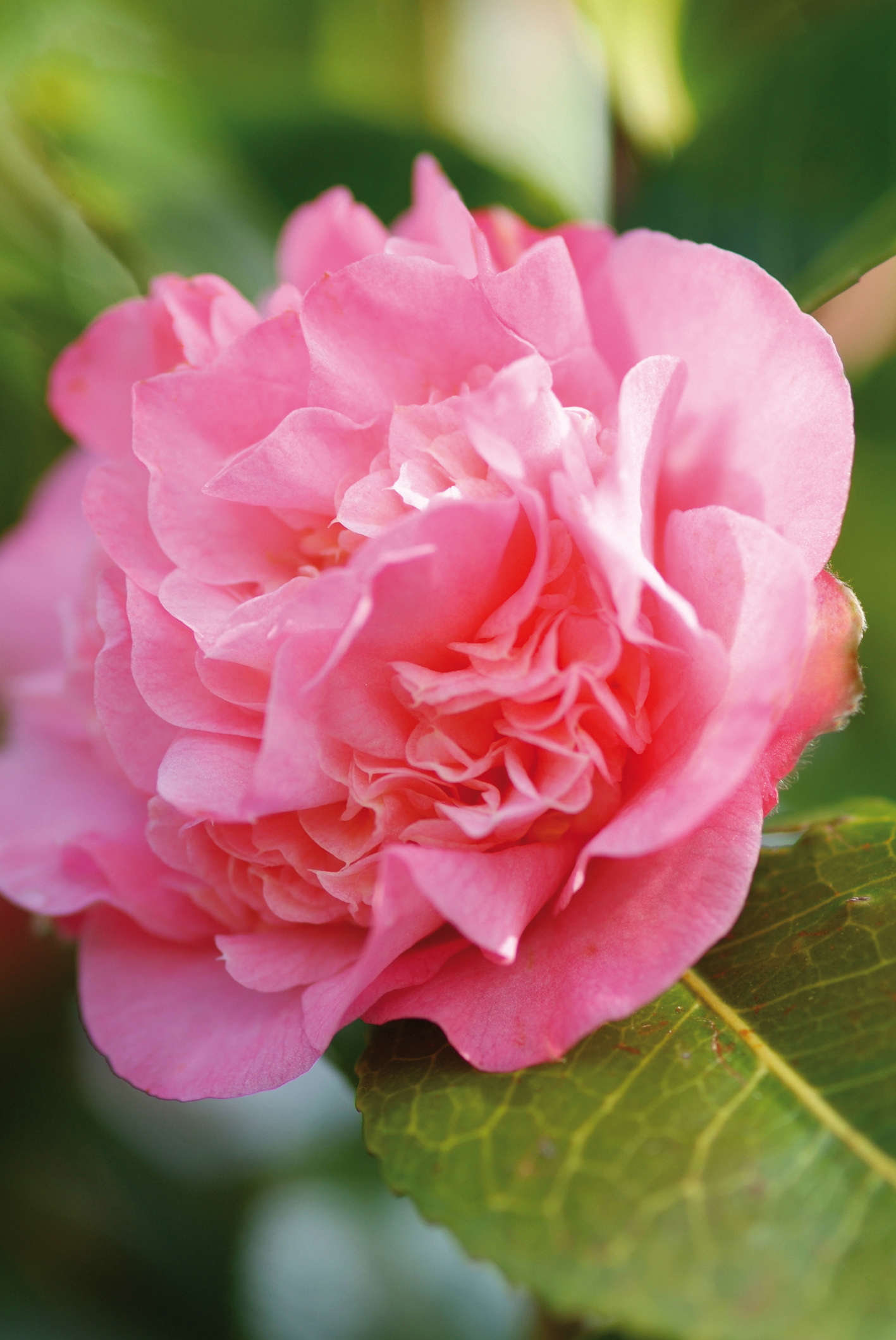 The garden plant of the month february camellia the joy of plants izmirmasajfo