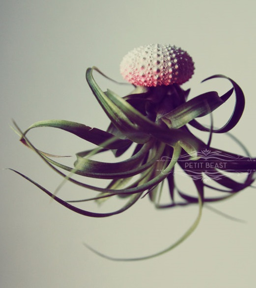 All about airplants on thejoyofplants.co.uk