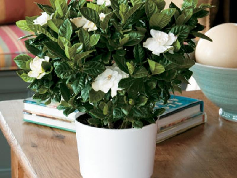 Top fragrant houseplants | The joy of plants