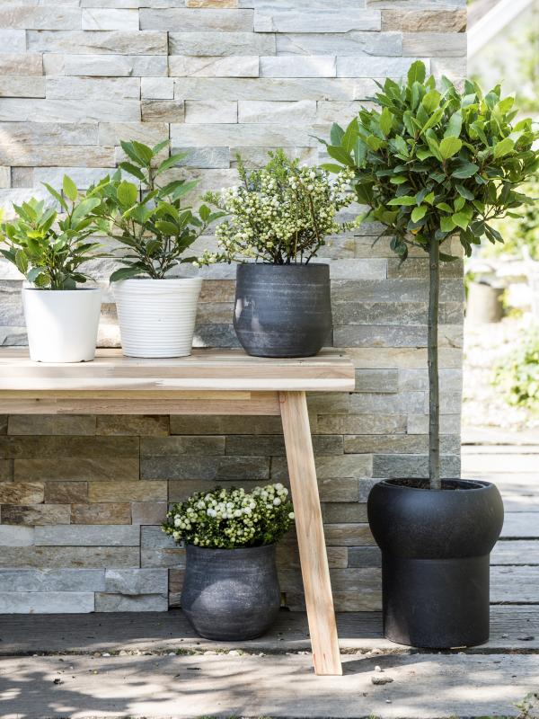 Bay laurel is the Gardenplant of the month for October - Thejoyofplants.co.uk