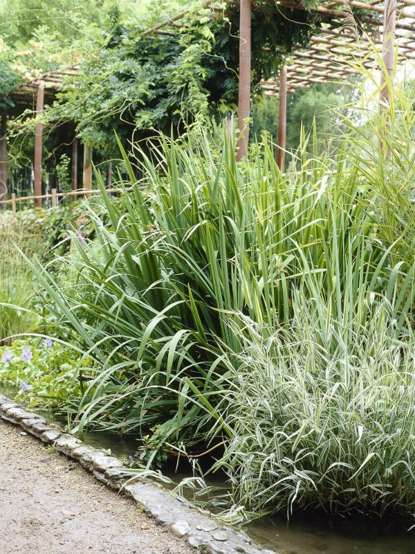 Bamboo Thejoyofplants.co.uk