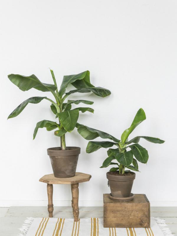 Banana tree - Musa - Thejoyofplants.co.uk