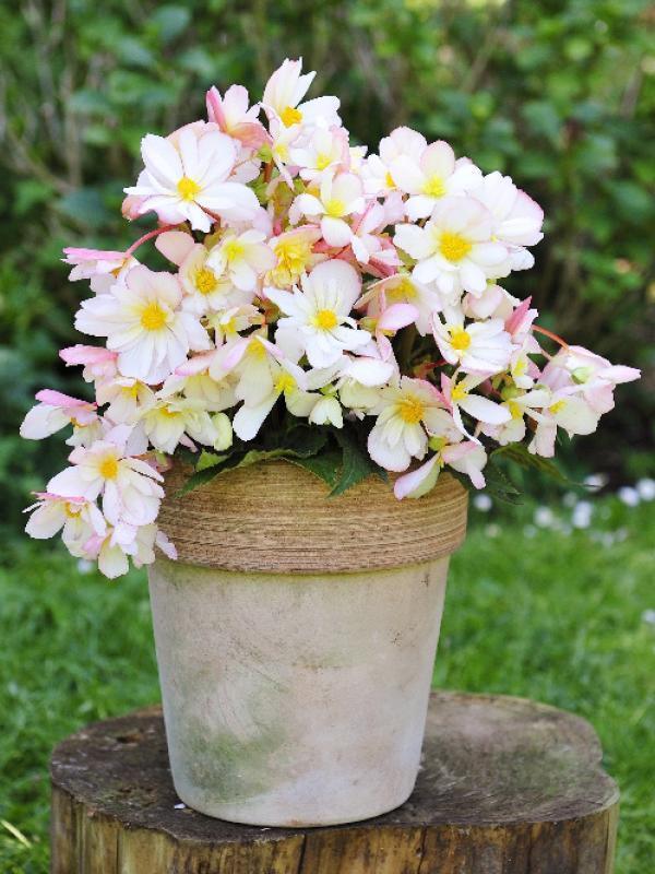Begonia Thejoyofplants.co.uk