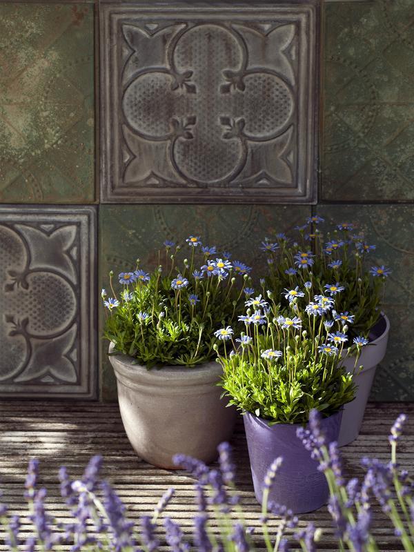 Blue margueriteThejoyofplants.co.uk