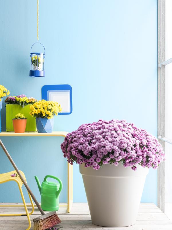 Cushion chrysanthemum Thejoyofplants.co.uk