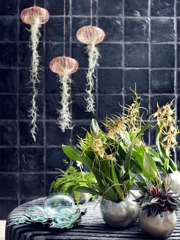 Brassia Thejoyofplants.co.uk