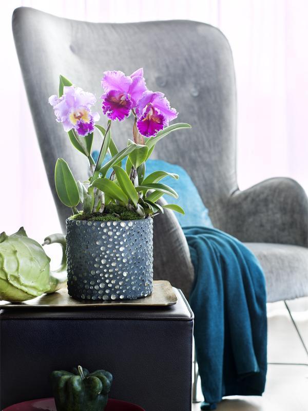 Cattleya Thejoyofplants.co.uk