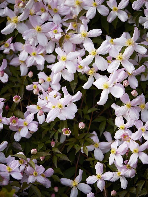 Clematis Thejoyofplants.co.uk