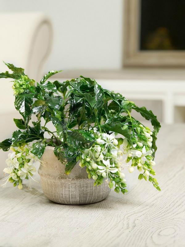 Clerodendrum Prospero Glorybower Thejoyofplants.co.uk