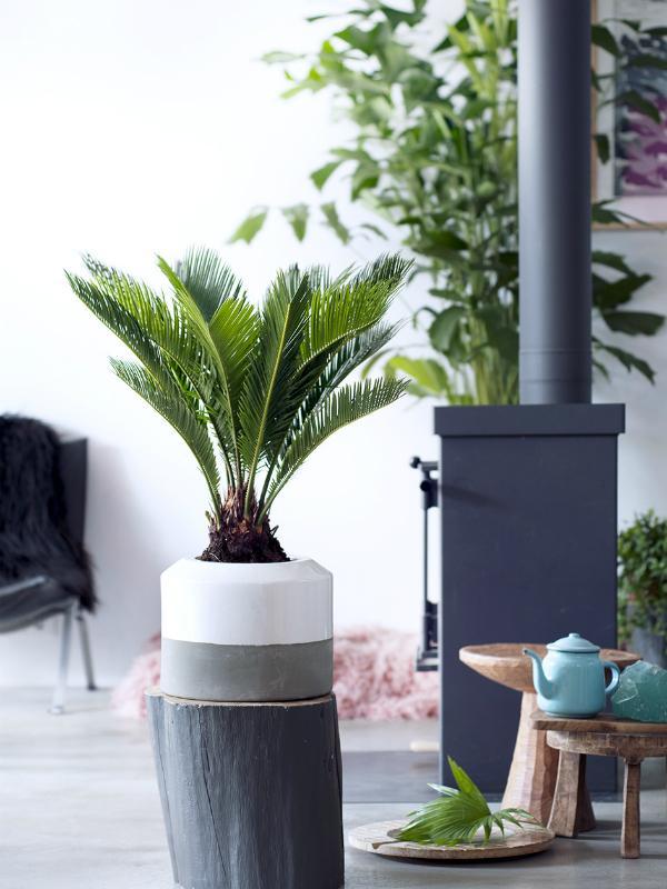 Fern palm - Thejoyofplants.co.uk