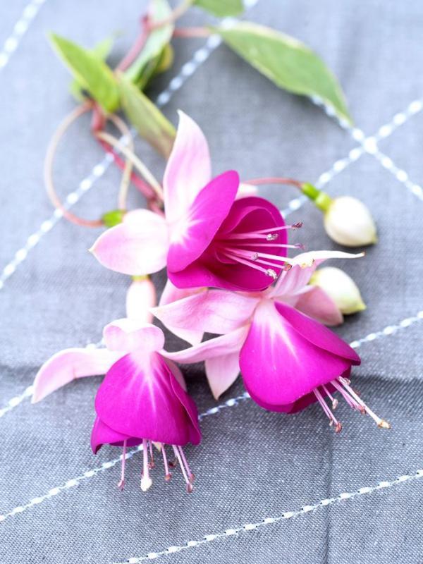 Fuchsia Thejoyofplants.co.uk