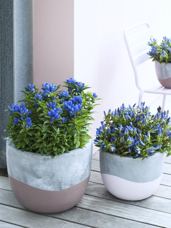 Gentian Thejoyofplants.co.uk