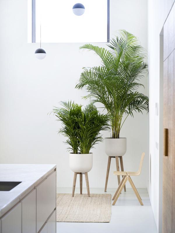 Golden cane palm Thejoyofplants.co.uk