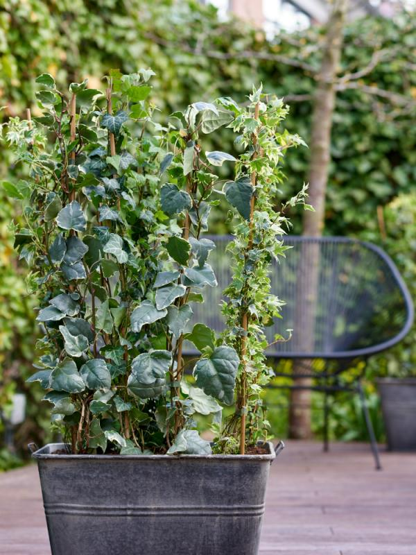 Hedera Ivy Thejoyofplants.co.uk