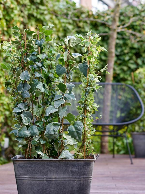 Hedera Ivy Thejoyofplants.co.uk