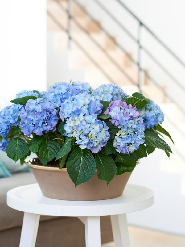 Hydrangea Thejoyofplants.co.uk