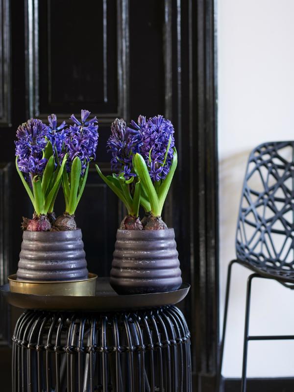 Hyacinth Thejoyofplants.co.uk