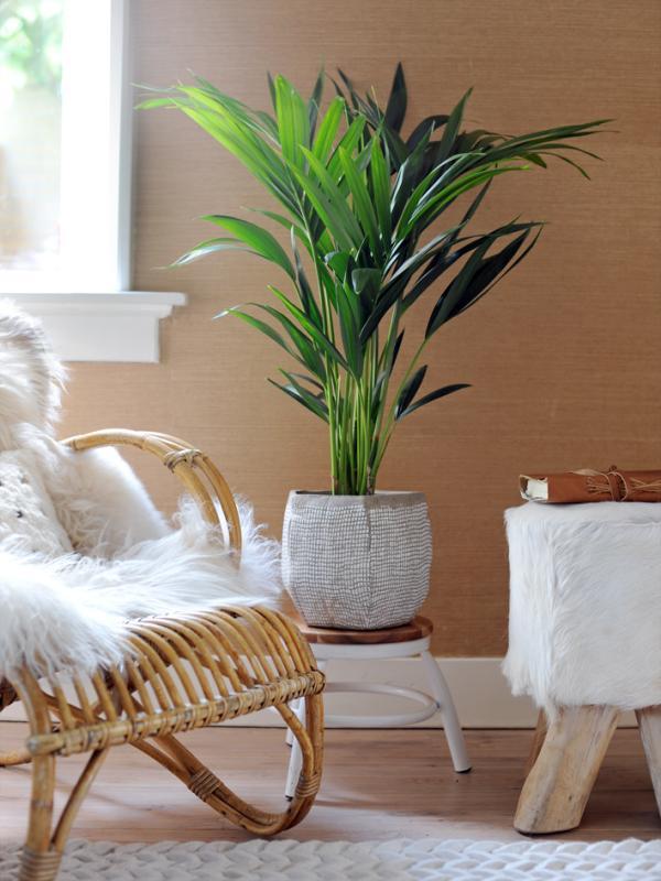 Kentia Palm Thejoyofplants.co.uk