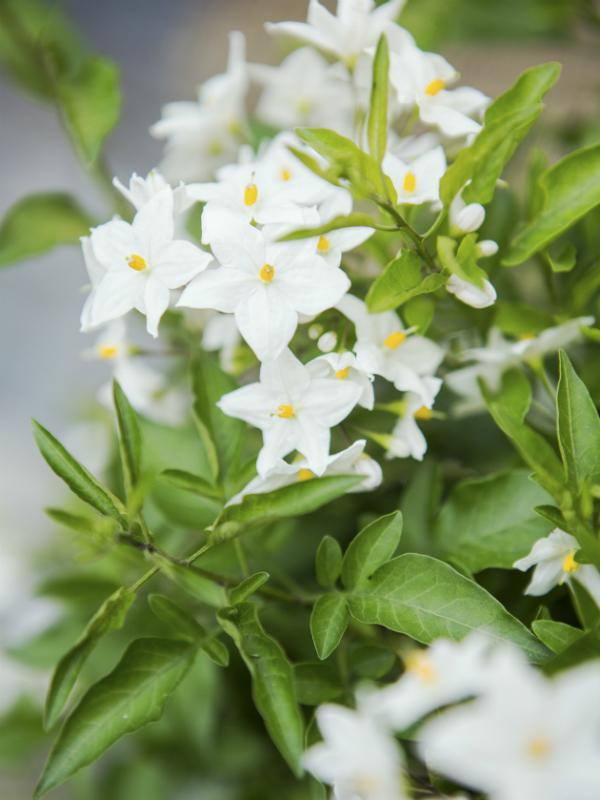 Potato vine Thejoyofplants.co.uk