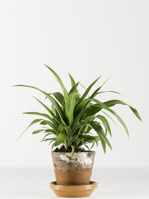 Spider plant - Thejoyofplants.co.uk