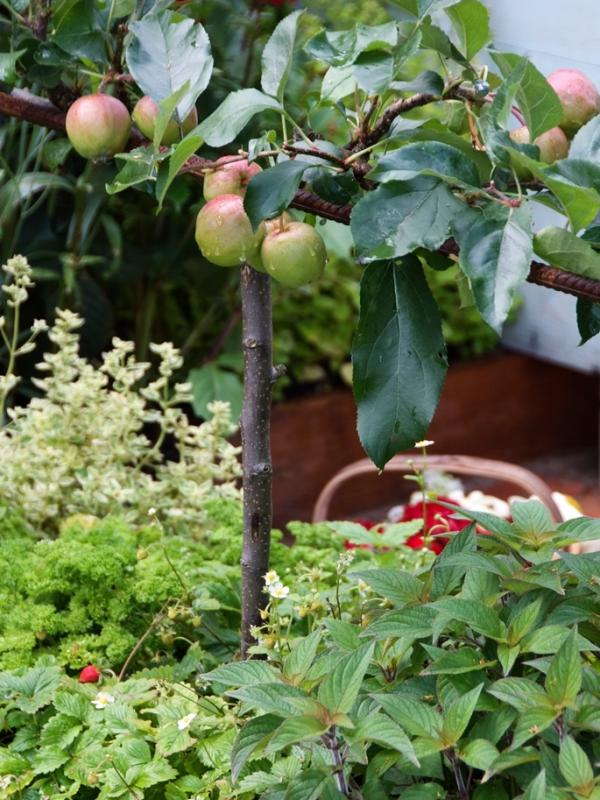 Fruit Trees, Apple, Malus, thejoyofplants