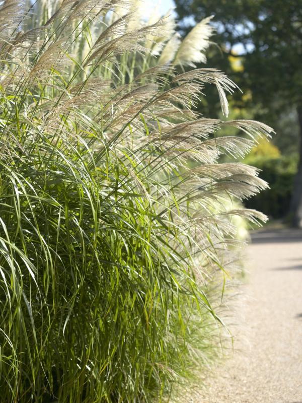 Silvergrass Thejoyofplants.co.uk