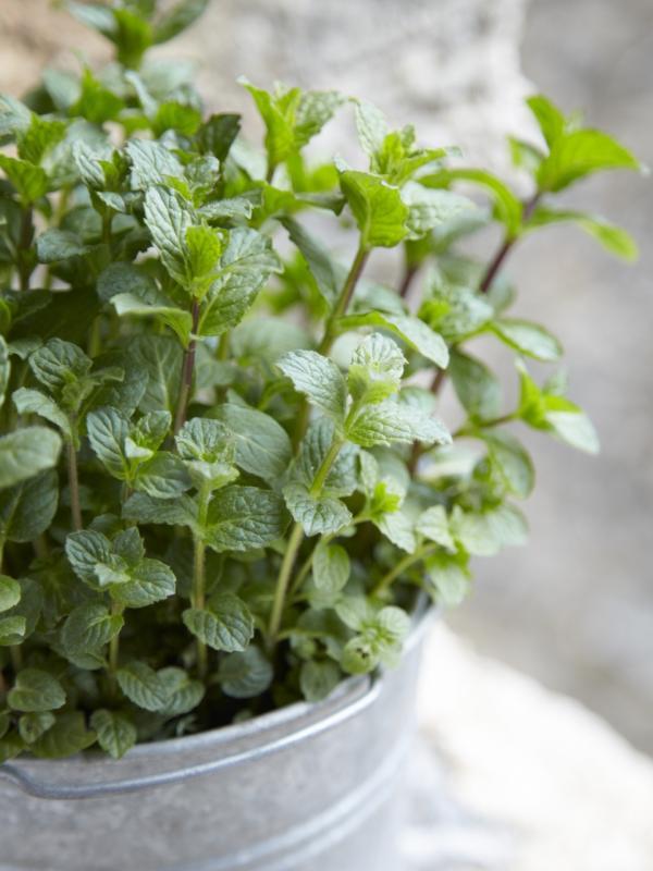 Mint Thejoyofplants.co.uk