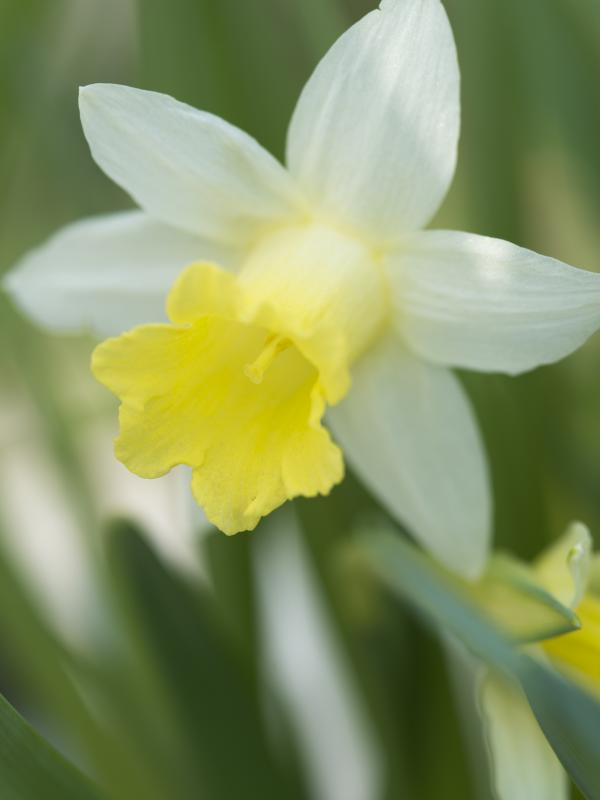 Daffodil Thejoyofplants.co.uk
