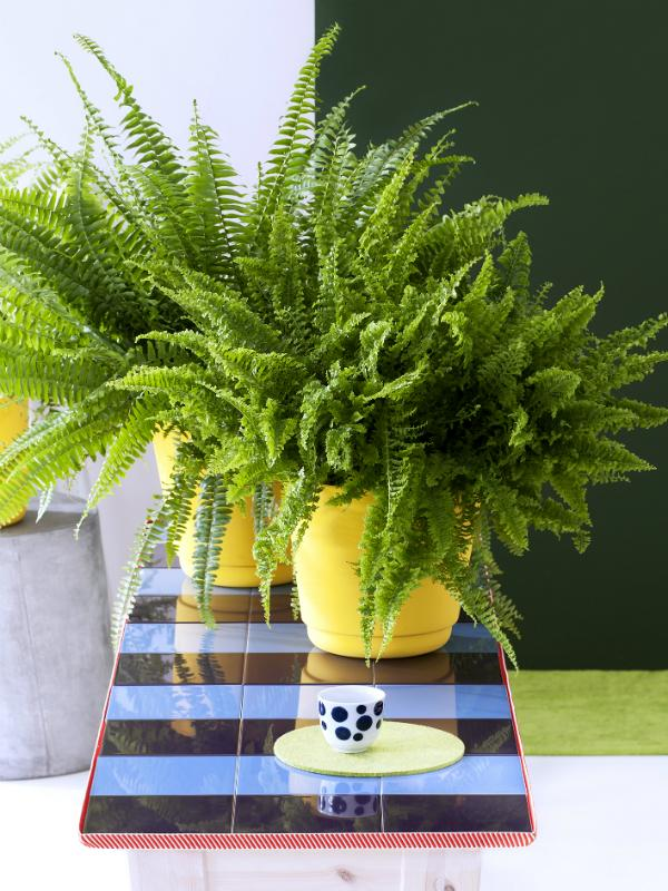 Boston fern Thejoyofplants.co.uk