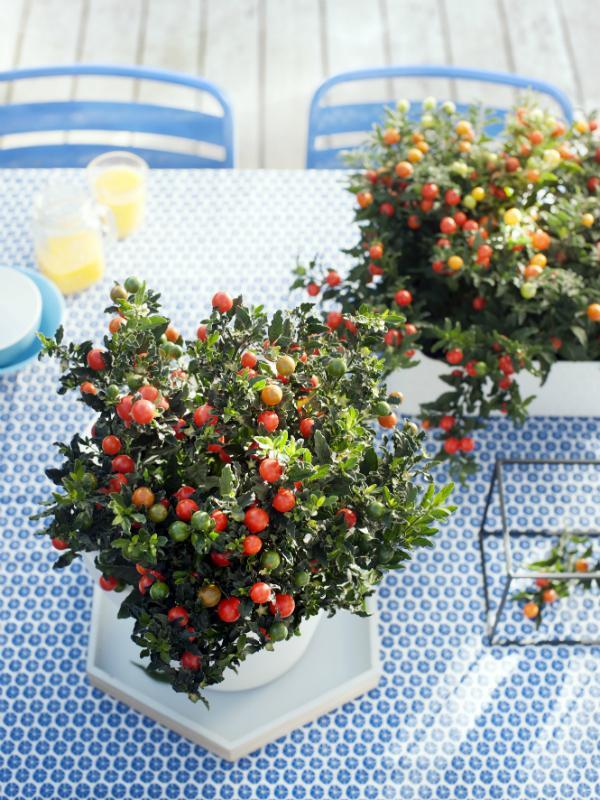 Jerusalem Cherry  Thejoyofplants.co.uk