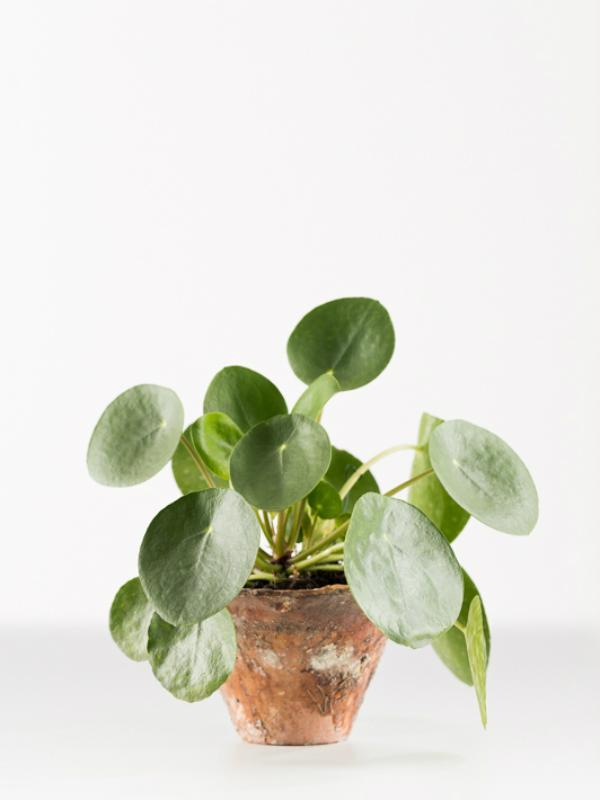 Chinese money plant - Thejoyofplants.co.uk