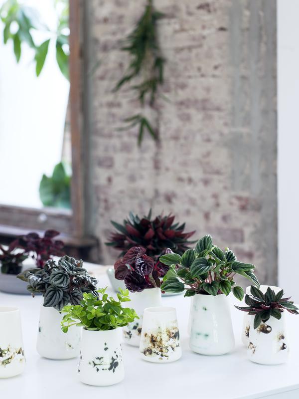 Peperomia Thejoyofplants.co.uk