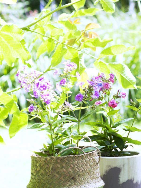 Phlox Thejoyofplants.co.uk