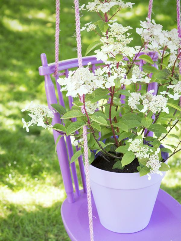 Panicle hydrangea Thejoyofplants.co.uk