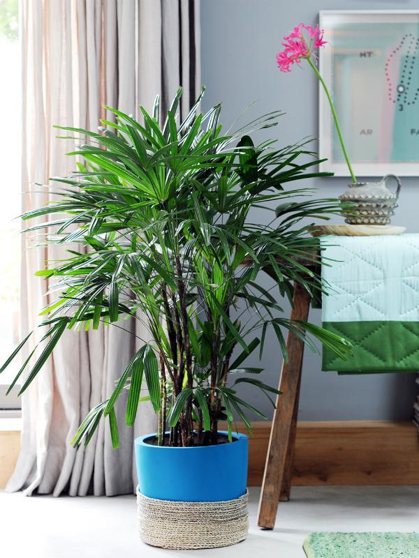 Lady palm - Thejoyofplants.co.uk