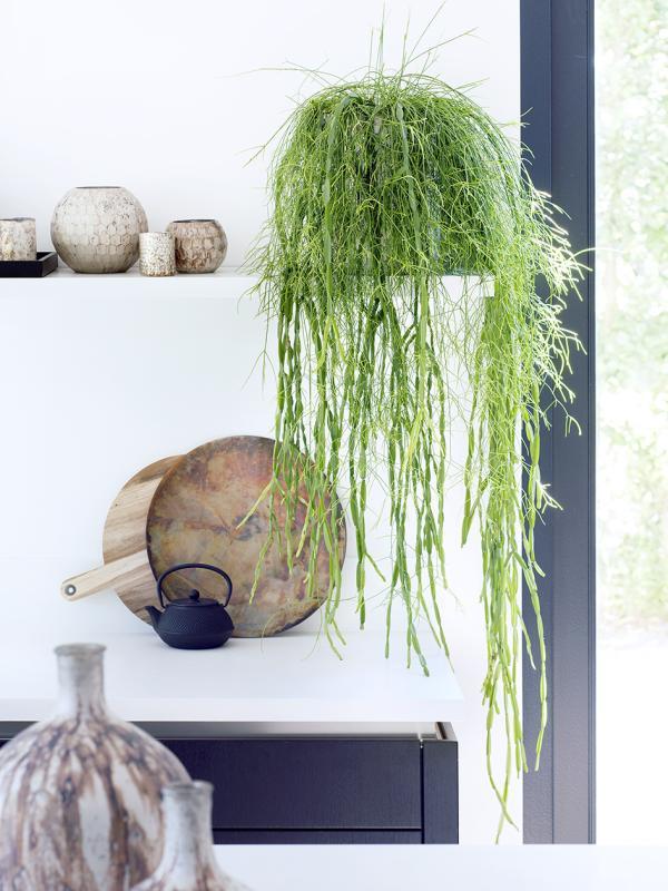 Rhipsalis Thejoyofplants.co.uk