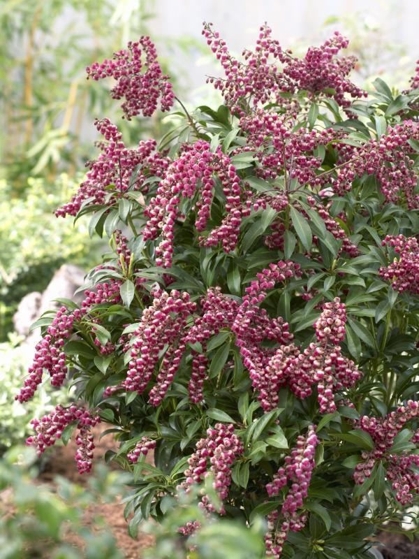 Pieris Thejoyofplants.co.uk
