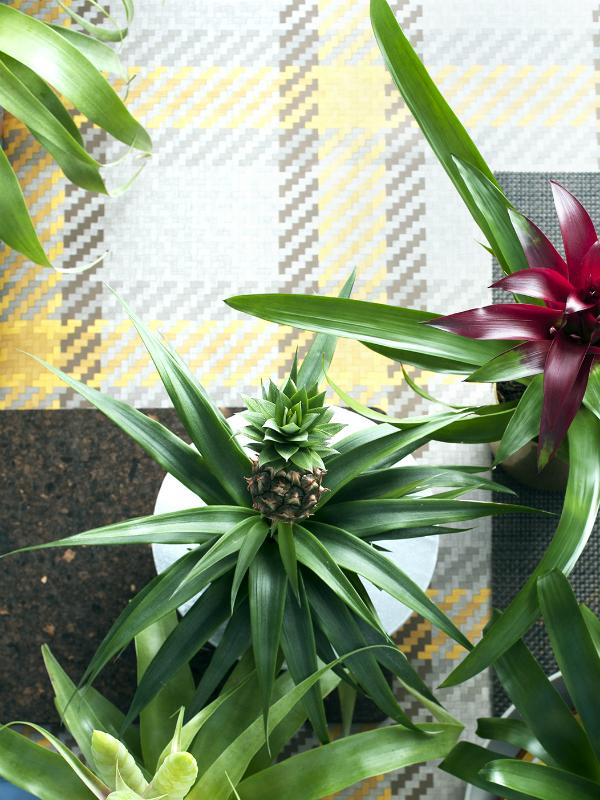 Pineapple plant Thejoyofplants.co.uk