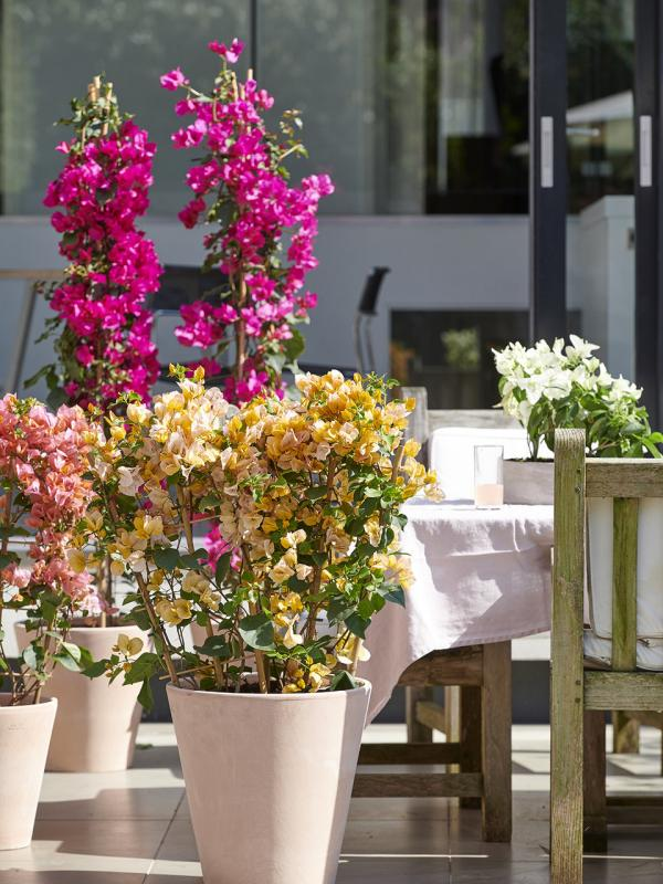 Bougainvillea Thejoyofplants.co.uk