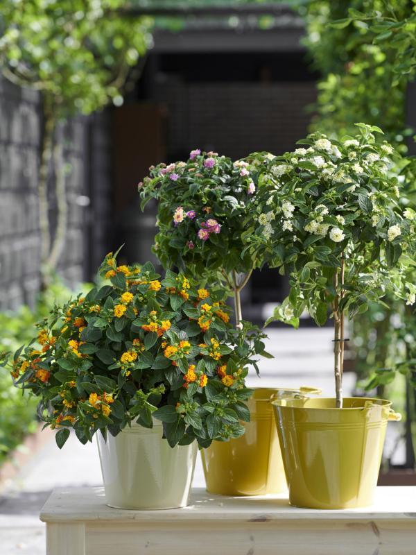 Lantana Thejoyofplants.co.uk
