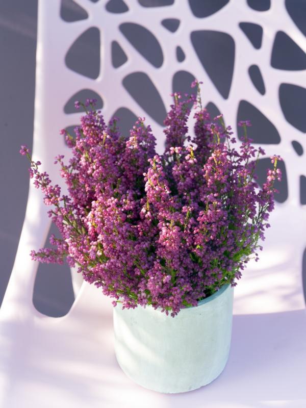 Winter heather Thejoyofplants.co.uk