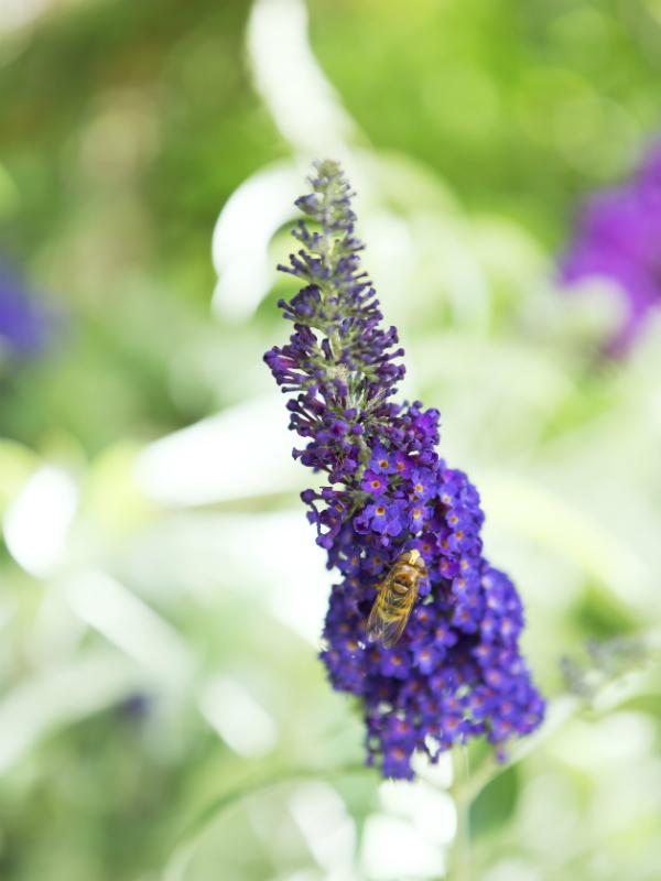 Butterfly Bush - Thejoyofplants.co.uk