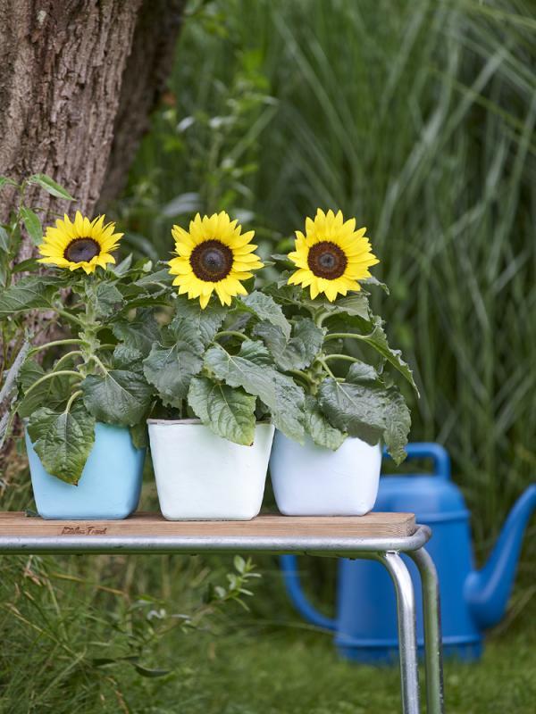 Sunflower Thejoyofplants.co.uk