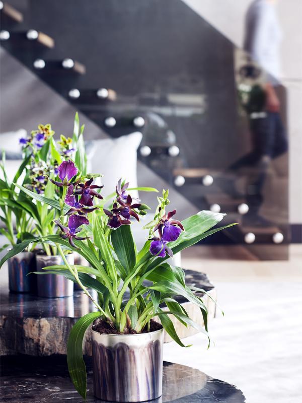 Zygopetalum Thejoyofplants.co.uk