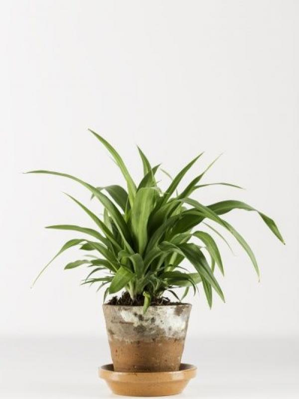 Itu0027s Also Known For Its Air Purifying Properties So Makes An Ideal Desk  Plant In A Dimly Lit, Air Conditioned Office.