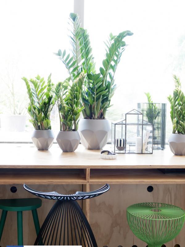 Zamioculcas Thejoyofplants.co.uk